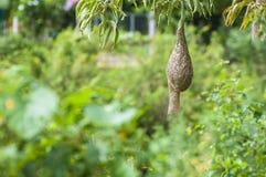 Baya tkacza ptaka gniazdeczko przy gałąź drzewo Zdjęcia Stock