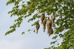 Baya tkacza ptaka gniazdeczko przy gałąź drzewo Obraz Royalty Free