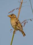 Baya tkacza samiec ptak obraz stock