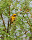 Baya wear. Bird sitting on the green branches of trees. very natural view. especially the yellow color of the bird looks very beautiful Stock Image