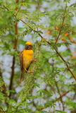 Baya wear. Bird sitting on the green branches of trees. very natural view. especially the yellow color of the bird looks very beautiful Stock Photo