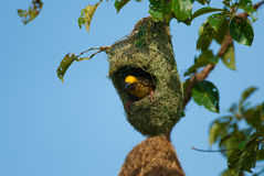 Baya weaver Stock Photography