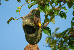 Baya weaver Royalty Free Stock Photography