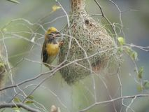 Male baya weaver with nest. Baya weaver also called as Ploceus philippinus selective focus Stock Image