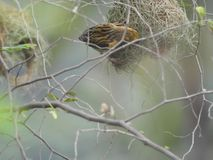 Male baya weaver with nest. Baya weaver also called as Ploceus philippinus selective focus Stock Photography