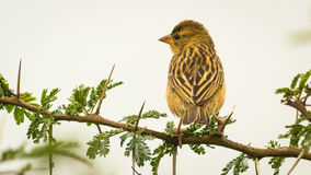 Baya Weaver back, (Ploceus philippinus) on the tree Royalty Free Stock Images