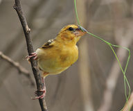 Baya Weaver Stock Photo