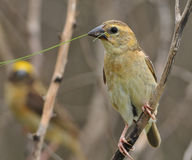 Baya Weaver Stock Photos