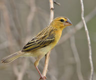 Baya Weaver Stock Images