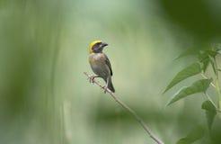 The baya weaver bird Stock Images