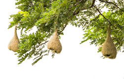 Baya weaver bird nest Stock Photo