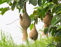 Baya weaver bird nest Stock Images