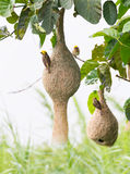 Baya weaver bird nest Stock Image