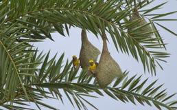Baya Weaver Bird in Nest. Male Baya Weaver birds perched on their hanging nests stock photo