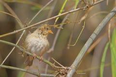 Baya Weaver Bird imagen de archivo