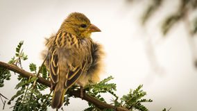 Baya Weaver, Left Royalty Free Stock Photos