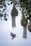 Baya Weaver nel parco nazionale di Minneriya, Sri Lanka Fotografie Stock Libere da Diritti