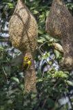 Baya Weaver nel parco nazionale di Minneriya, Sri Lanka Immagine Stock Libera da Diritti