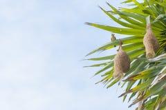 Baya Weaver Nest Immagine Stock Libera da Diritti
