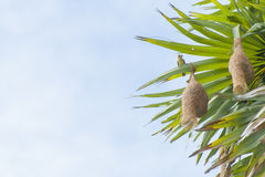 Baya Weaver Nest Royalty Free Stock Image
