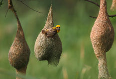 Baya weaver with nest Colony Stock Image
