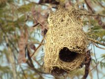 Baya weaver nest Stock Photos