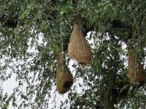 Baya Weaver Nests en árbol Fotos de archivo libres de regalías