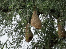 Baya Weaver Nests op Boom Royalty-vrije Stock Foto's