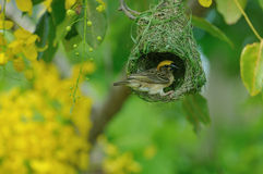 Baya Weaver Royalty Free Stock Image