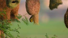 Baya weaver Ploceus philippinus die het nest weeft stock videobeelden