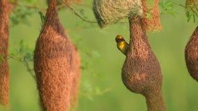 Baya weaver Ploceus philippinus die het nest weeft stock video