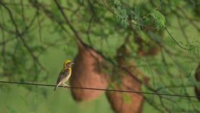 Baya weaver Ploceus philippinus die het nest weeft stock footage