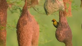 Baya weaver Ploceus philippinus met Nesting Colony stock videobeelden