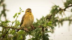 Small baya yellow bird on the tree, branch Stock Photo