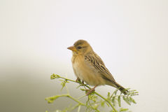 Baya Weaver Sparrow on Babul Tree Stock Photo