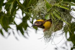 Baya-Weber, der Nest am Baum konstruiert lizenzfreies stockfoto