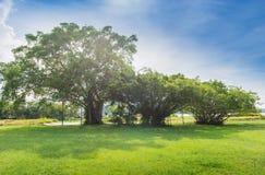 Bayan drzewo Obraz Royalty Free