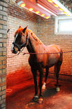 Bayard in special solarium for horses during the procedure Royalty Free Stock Photography