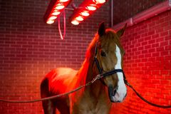 Bayard in special solarium for horses at the time of procedure Royalty Free Stock Photography