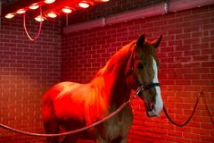 Bayard in special solarium for horses at the time of procedure Stock Image