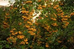 Bayas amarillas Imagenes de archivo
