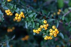 Bayas amarillas del coccinea del Pyracantha en jardín del otoño Foto de archivo libre de regalías