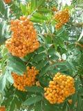 Bayas anaranjadas imagen de archivo