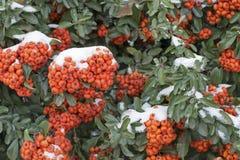 Bayas anaranjadas brillantes en un arbusto imperecedero, estación del invierno imagenes de archivo