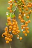 Bayas anaranjadas con gotas de lluvia Fotografía de archivo