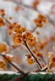 Bayas anaranjadas congeladas Fotografía de archivo