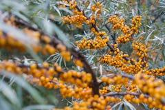Bayas anaranjadas en las ramas Imágenes de archivo libres de regalías