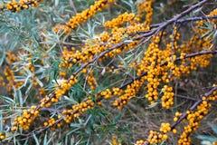 Bayas anaranjadas en las ramas Fotografía de archivo libre de regalías