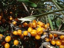 Bayas anaranjadas espino amarillas - macro Foto de archivo libre de regalías