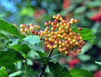 Bayas anaranjadas inmaduras en Bush Imagen de archivo